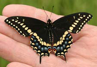 jimrobertson_blackswallowtail